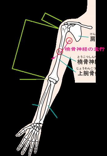 走行 橈骨 神経 指が伸ばせない!後骨間神経麻痺の症状・原因・治療まとめ